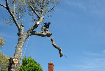 Morgan Mason safely removes a tree limb by climbing the tree to avoid damaging the property below